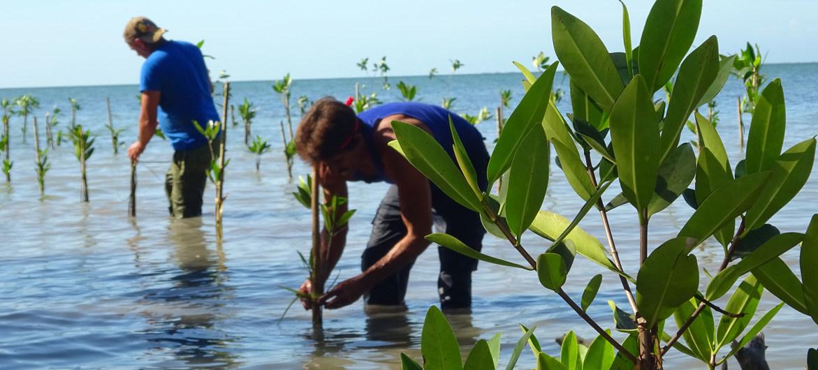 Comunidades participam em iniciativa para recuperar manguezais nas costas cubanas.